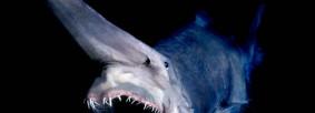 01-Goblin-Shark[2]